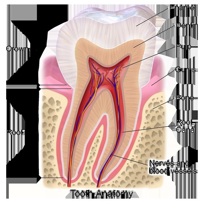 toothanatomy_02-1527a149128080a4363